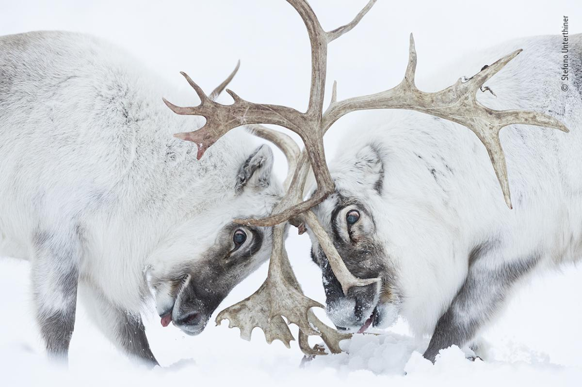 Head to head by Stefano Unterthiner, Italy, Winner, Behaviour: Mammals. Stefano Unterthiner watches two Svalbard reindeer battle for control of a harem. Unterthiner followed these reindeer during the rutting season. Watching the fight, he felt immersed in