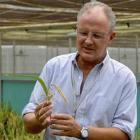 Dr. Gerard Barry, IRRI's golden rice project leader, inspects golden rice in the screen house.