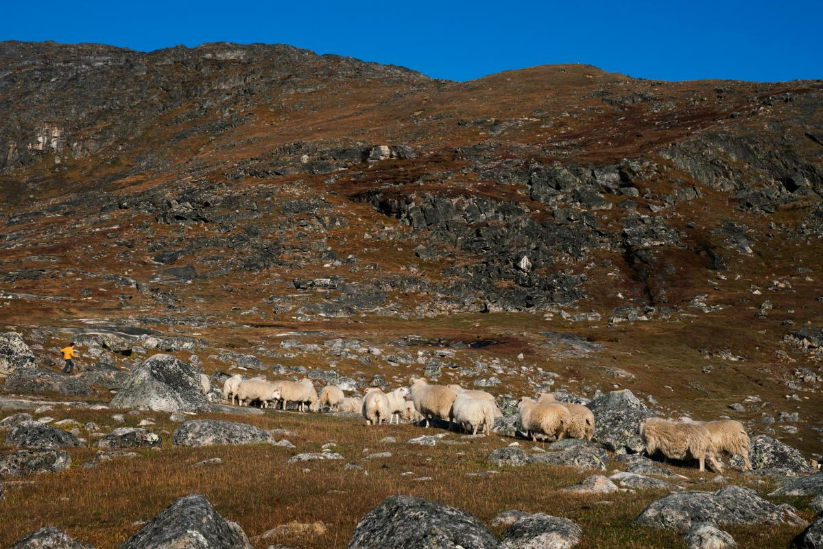Makkak Nielsen runs out to the field to stop the sheep from going the wrong way as her husband and son bring them in towards the farm.