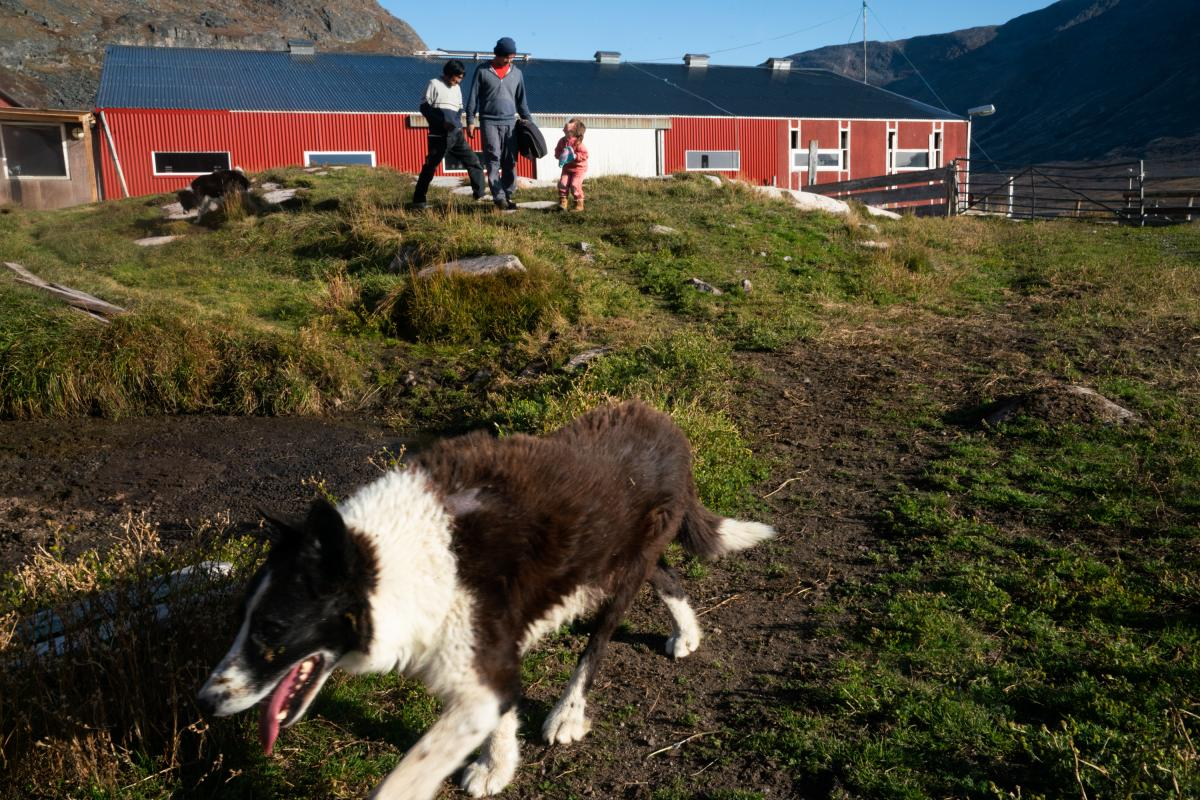 Panu and the farmhands follow one of the border collies from the barn towards the Nielsen house after the sheep are settled in.