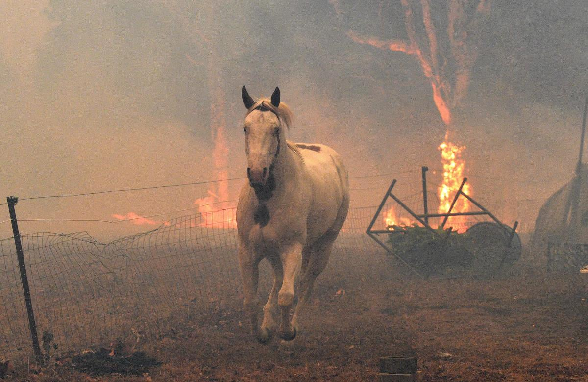A horse tries to move away from nearby bushfires at a residential property near the town of Nowra in the Australian state of New South Wales on New Year's Eve.
