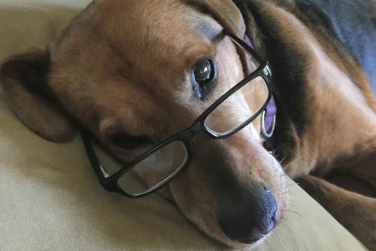 """Ginger, 'the sweetest dog there ever was."""" A Polish Hound from West Virginia. Ginger's human is Chad Campbell, a producer for Morning Edition."""