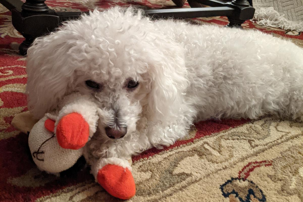 Bradley and Lamb Chop (IYKYK). Bradley loves toys and dislikes deer. Bradley's human is Avery Keatley, a production assistant for Morning Edition.