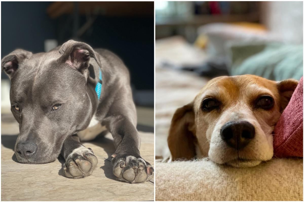 Roxi (L) loves tennis balls and baking in the sun. Echo (R) loves sleeping and tricking Roxi into getting food off the counter for her. Echo and Roxi's human is Emily Alfin Johnson, who works on the Morning Edition live blog.