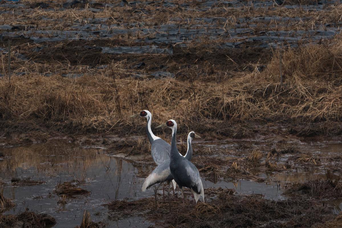 White-naped cranes in a rice paddy in the Civilian Control Zone, just outside the DMZ.