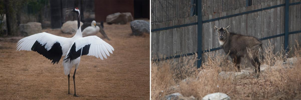A red-crowned crane (left) and an Amur goral, also known as a long-tailed goral, settle in at the Seoul Grand Park Zoo.