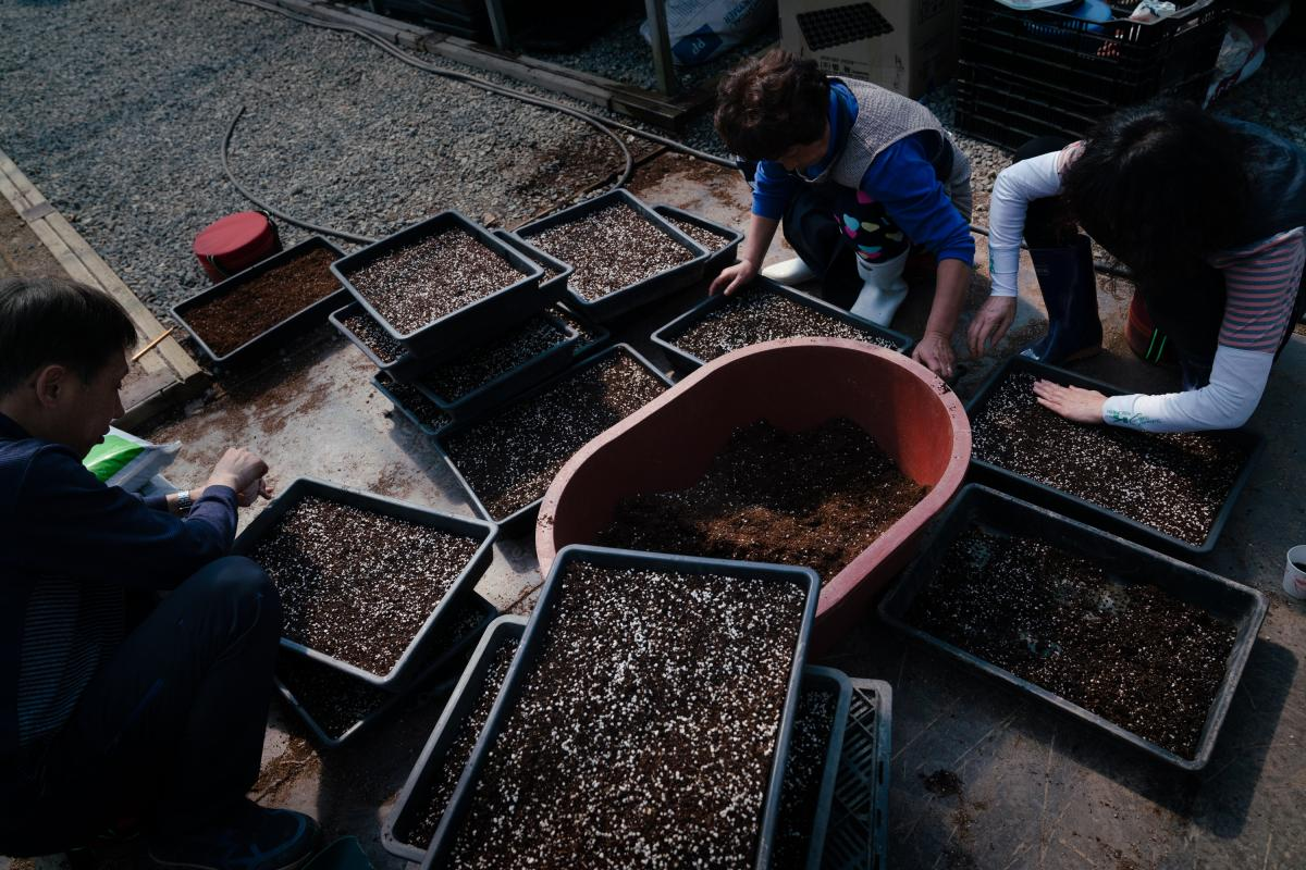 Employees at the botanical garden plant hosta seeds in hundreds of trays of soil. After the hostas sprout, they will be used to repopulate areas of the Civilian Control Zone, where plants have been affected by landslides and invasive species.