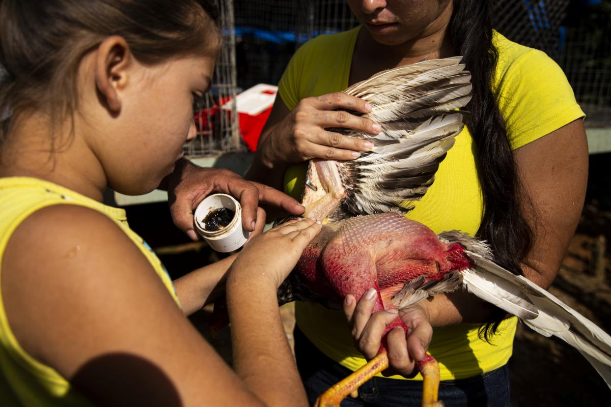 Nine-year-old Jamileth Torres treats a rooster's fight wounds with ointment as her mother, Lizmary Rivera, holds it still.