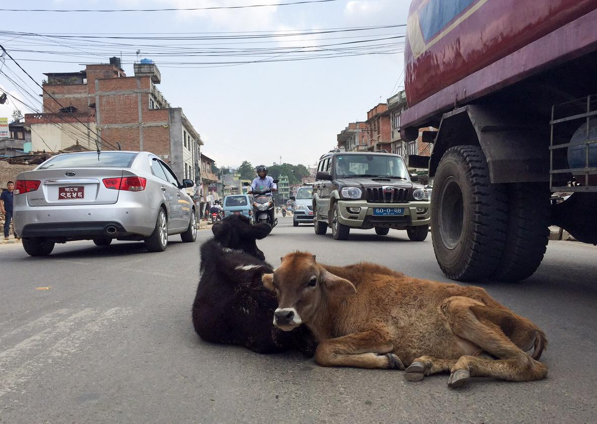 These bovines, oblivious to the traffic of Kathmandu, appear to be best buddies.