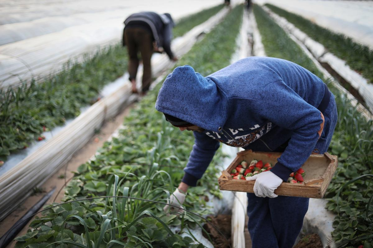 Farmers harvest strawberries north of Gaza City and send them to an association for export.