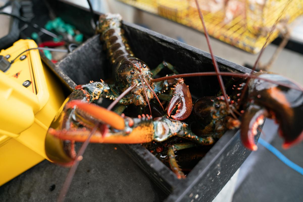 Lobsters collected from ropeless fishing gear are seen on Chris Welch's lobster boat off the coast of Kennebunkport, Maine, in July. The ropeless equipment is meant to protect North Atlantic right whales from being caught in fishing gear.