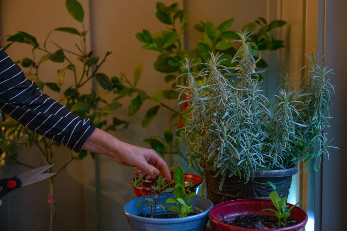 Pamela Bobb harvests some mint from her indoor herb and lemon garden at her home in Fairfield Glade, Tenn. Changes in her diet — lots more greens, fruits, vegetables and herbs and spices that reduce inflammation — are also part of her pain-reduction r