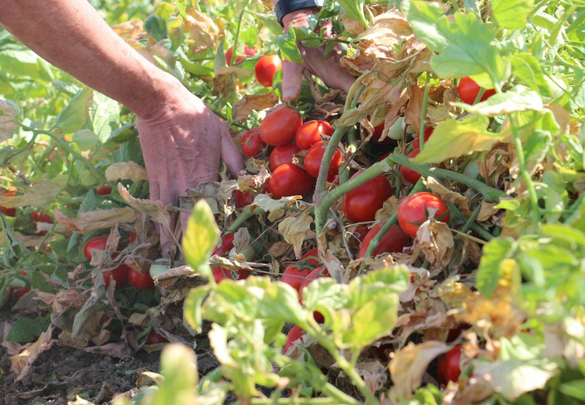 A single acre of this field can produce 60 tons of tomatoes. They're bred to produce thick, red paste.