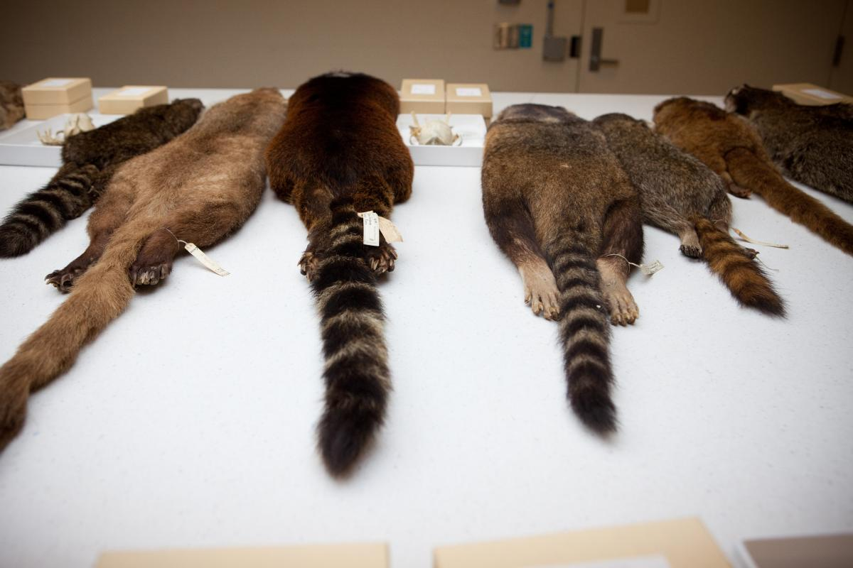 A collection of specimens from the raccoon family displayed in a storage room of the Smithsonian. Helgen says it is unlikely that another discovery of a mammal like this will ever happen again.