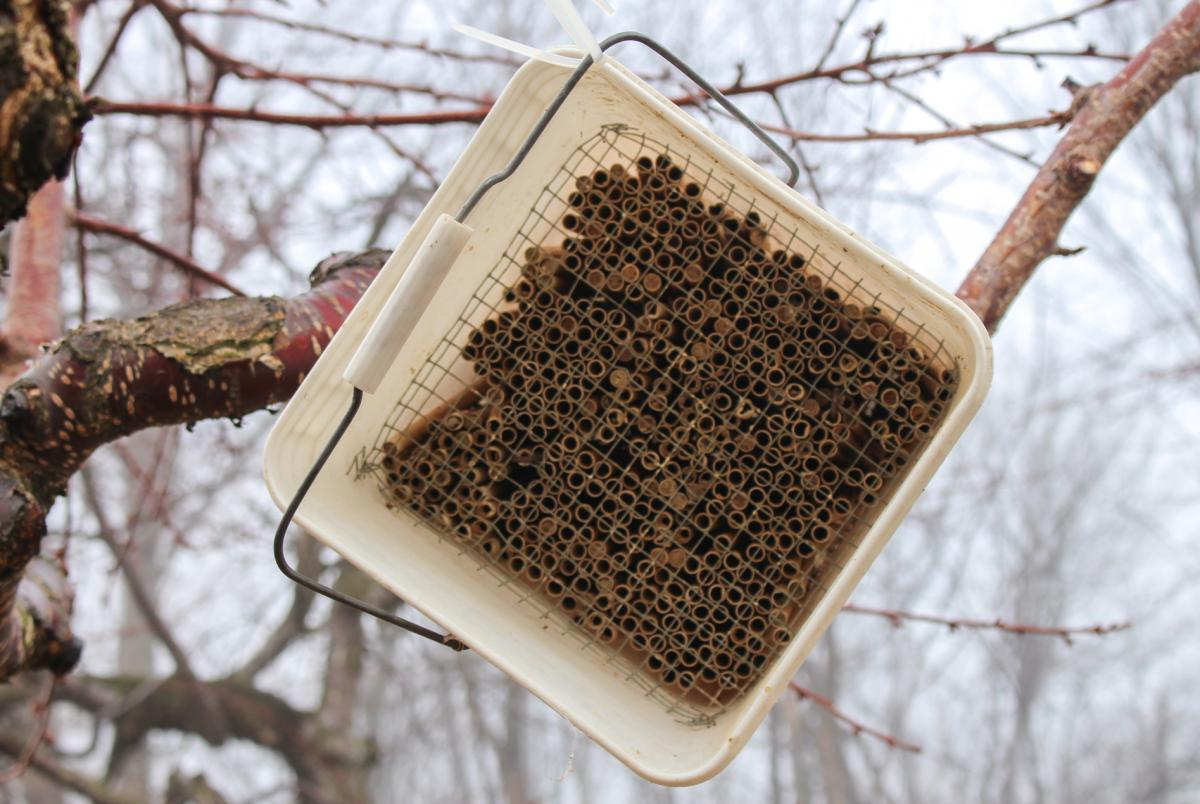 Zip tied to one of his cherry trees, the small white bucket with brown tubes are filled with horn-faced bees nesting for spring. A pie pan with water is placed underneath so that the bees have mud for their nest building. This ensures that the bees can su