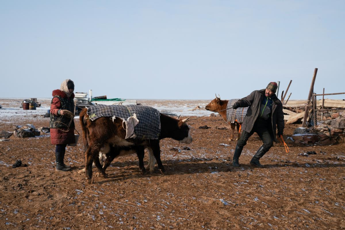 Otgonduu Khuudeg, 51, and his wife, Tsedendil Dedkhuu, 60, move cows around to better situate them for the morning milking. The veteran camel herders were displaced by the construction of the Oyu Tolgoi mine. Otgonduu purchased a bull with the displacemen