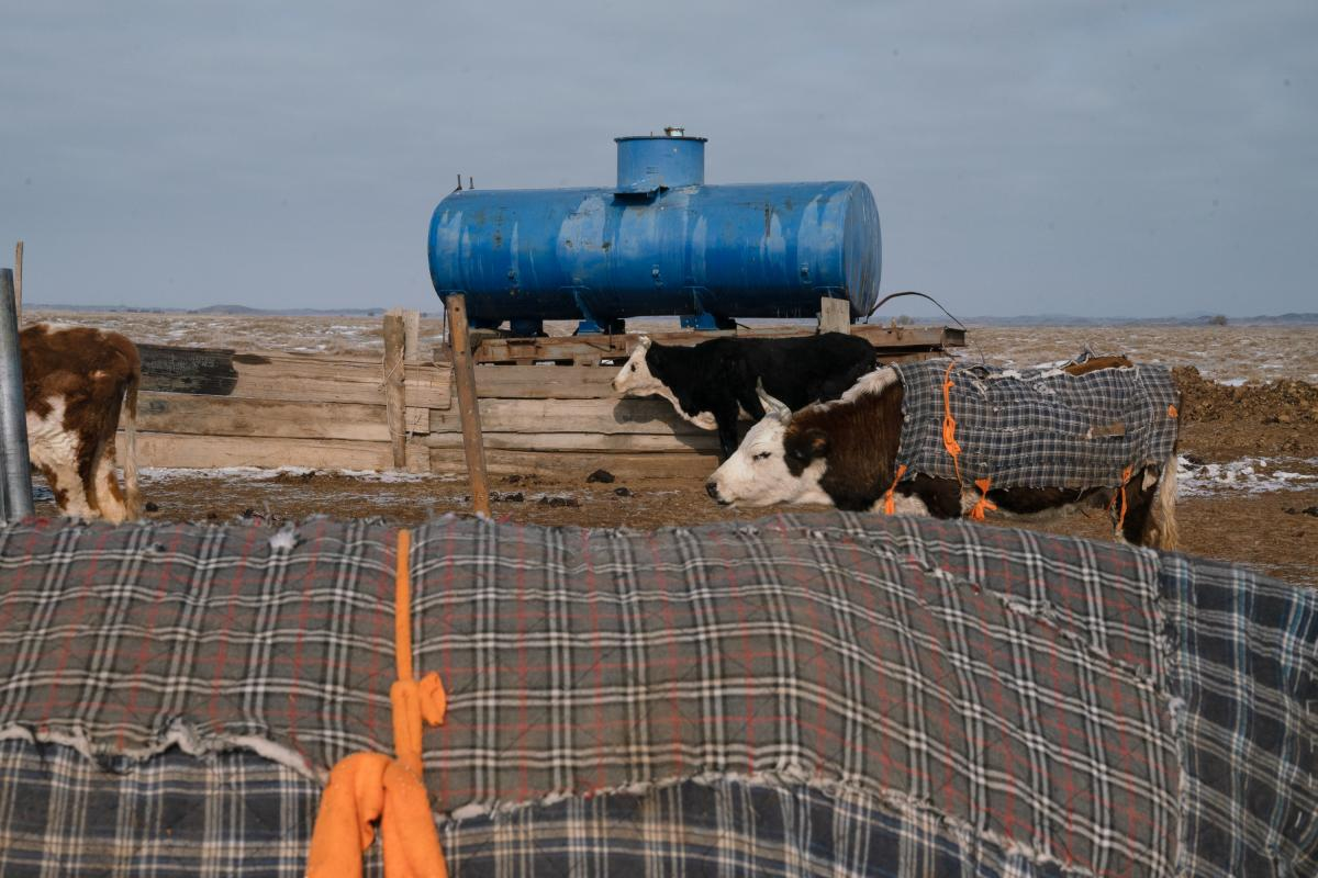 Otgonduu's cows, wrapped in blankets, walk in front of a water storage container on his property. Cows are not naturally suited for the semiarid conditions of the Gobi Desert, but Otgonduu feels he has no choice but to try herding them.