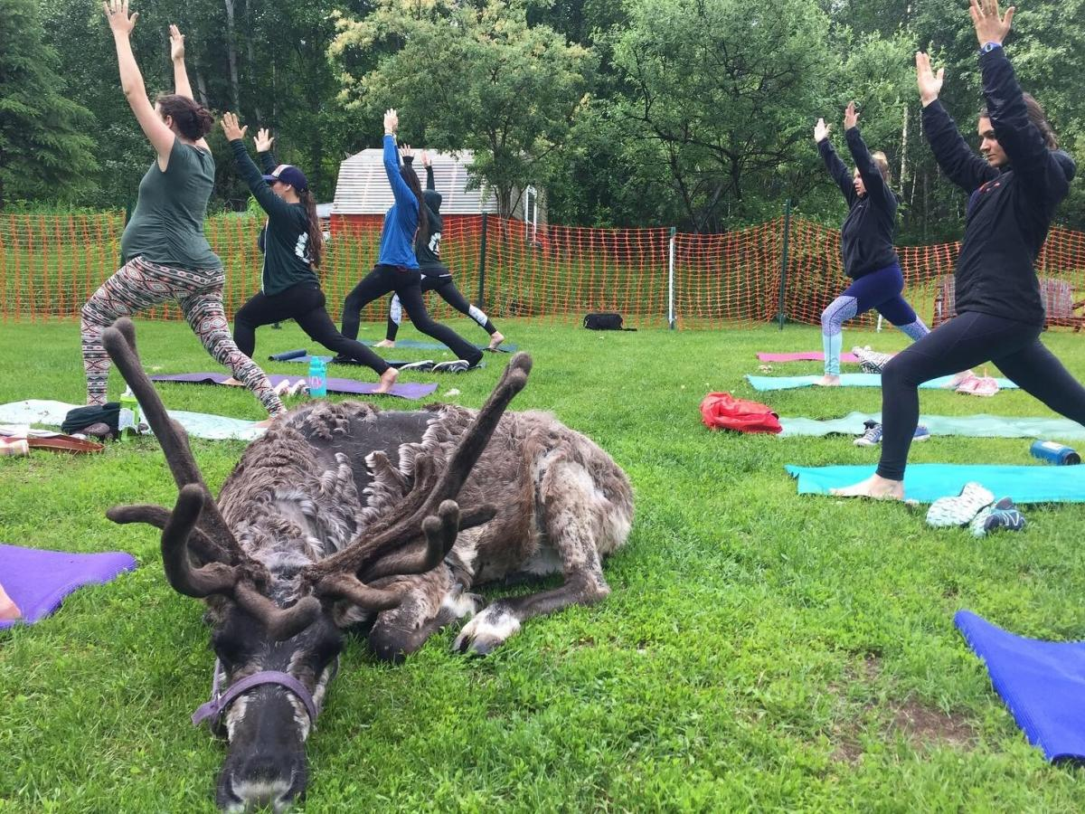 Rocket the reindeer takes a rest during a yoga class at Running Reindeer Ranch in Fairbanks, Alaska.