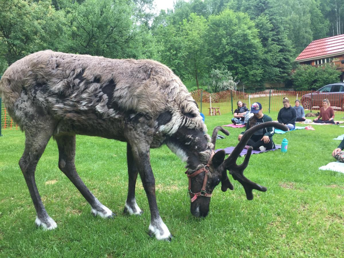 A reindeer stands in front of participants at the start of the yoga class.