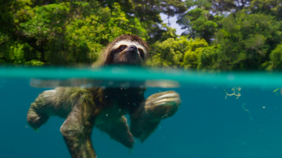 The BBC nature series Planet Earth returns to BBC America on Saturday. Above, a pygmy three-toed sloth swims off the coast of Escudo de Veraguas, Panama.