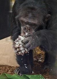 Chimpanzee Bo with coconut pinecone at Project Chimps.
