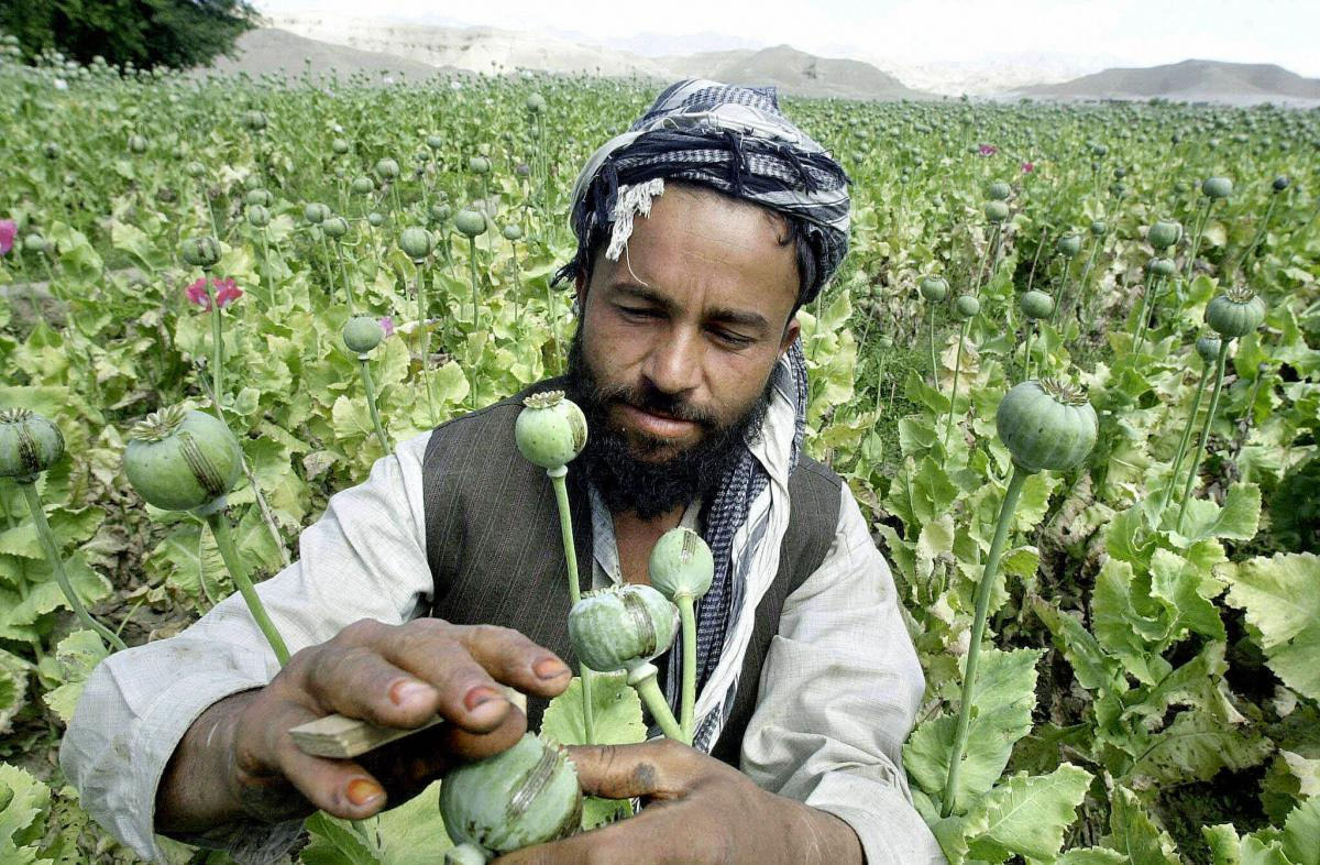 An Afghan poppy farmer uses a blade to score the surface of an opium poppy to extract raw opium in Laghman province.