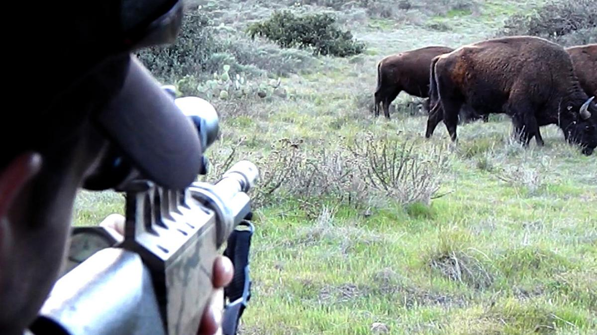 A scientist administers the PZP birth control vaccine to a bison on Santa Catalina Island. The island is the first place contraception is being used on bison in the wild.