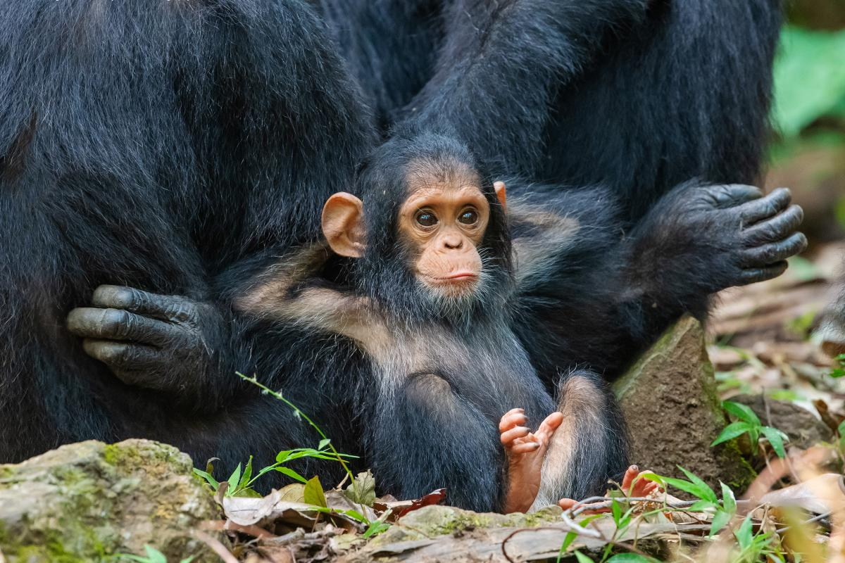 A 10-month-old chimp leans against his mother in Tanzania, with all the insouciance of a teen in the back of the classroom.
