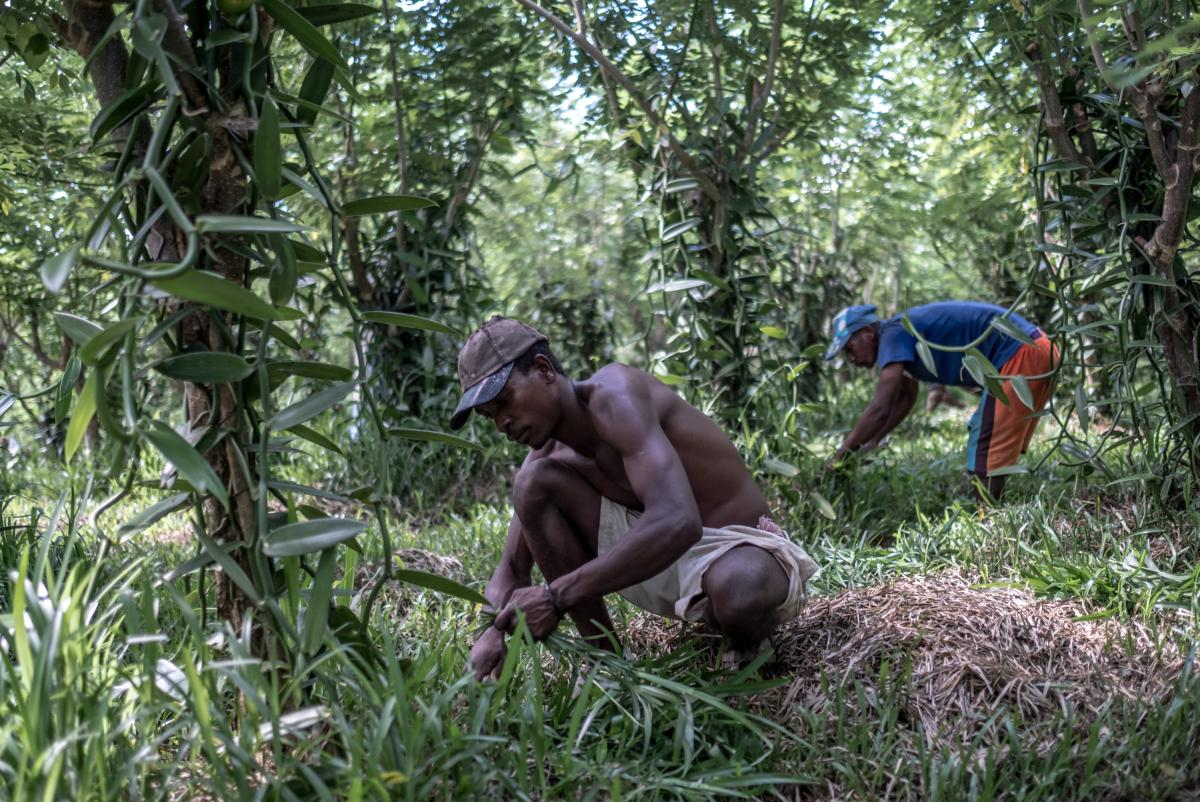 Cutting back vegetation around the base of the vines that produce the vanilla pods at a plantation near Antalaha, Madagascar.