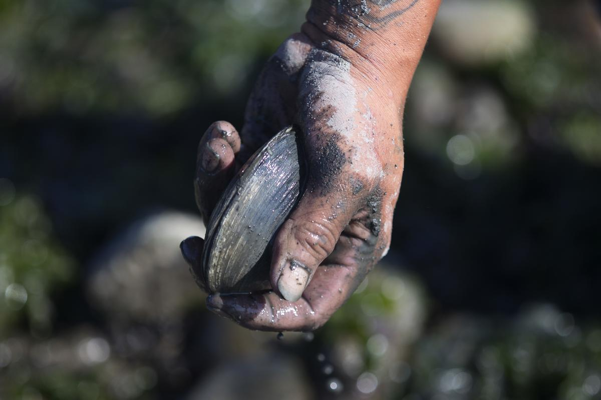 Clams have been an important part of tribal diets in the Pacific Northwest for centuries.