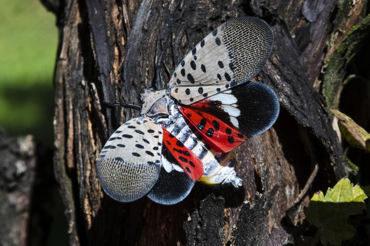 A spotted lanternfly is seen at a vineyard in Kutztown, Pa., in 2019. The insect has emerged as a serious pest since the federal government confirmed its arrival in southeastern Pennsylvania six years ago.