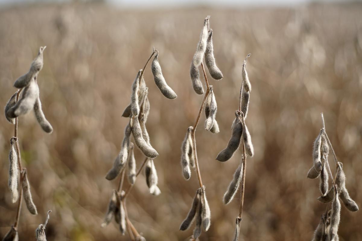 Soybeans are ready to be harvested in a field near Greenwood, Neb.