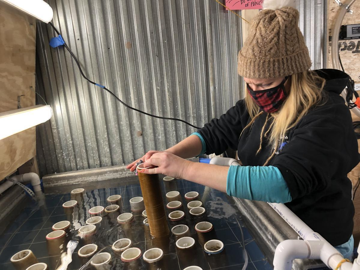 Olivia Mercier runs the kelp hatchery at Portland's Running Tide Technologies. She raises sporophytes, or early-stage kelp, on a pipe wrapped with biodegradable string; the string will be placed in the ocean.