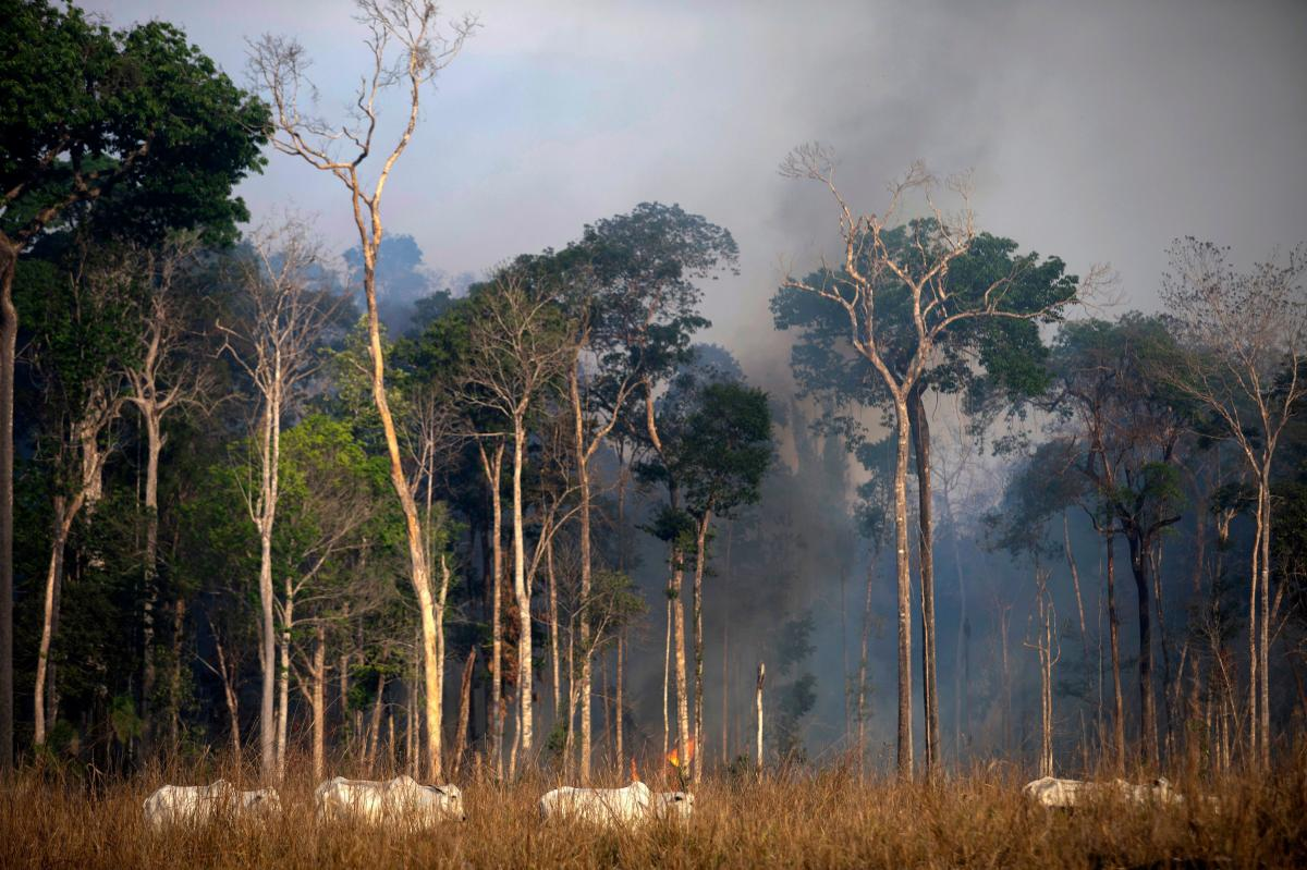 Cattle graze close to part of the Amazon rainforest that is affected by wildfire near Novo Progresso, Brazil, on Sunday. Brazil deployed two C-130 Hercules aircraft to douse fires devouring parts of the Amazon rainforest, as hundreds of new blazes ignited