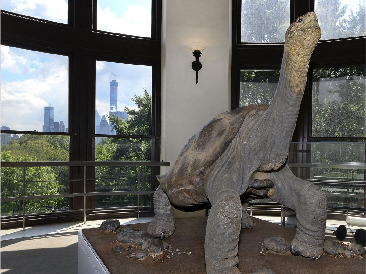 Lonesome George on display at the American Museum of Natural History.