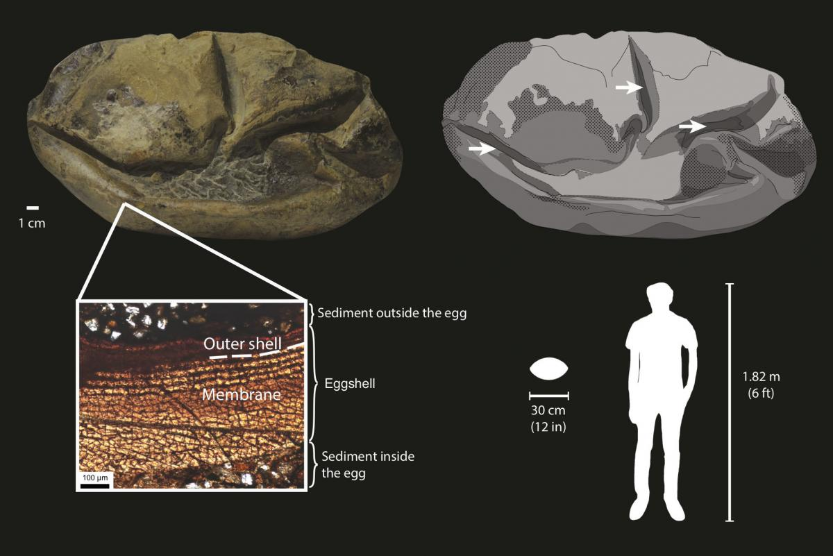 The fossil egg has a soft shell, shown in dark gray in the drawing (upper right), with arrows pointing to its folds and surrounding sediment shown as light gray. The cross section (lower left) shows that the egg consists mostly of a soft membrane surround