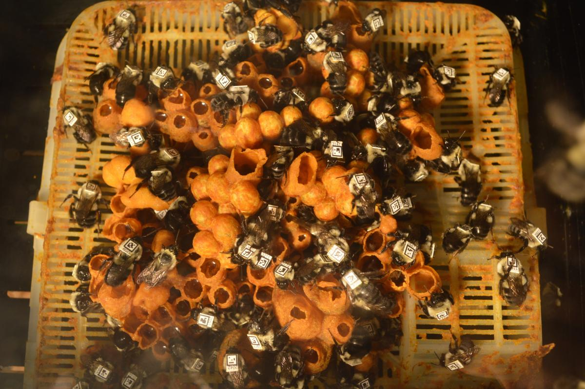 Workers inside a bumblebee nest are outfitted with tracking tags. Scientists used a robotic arm to take video of the bees' behavior when exposed to a common insecticide.