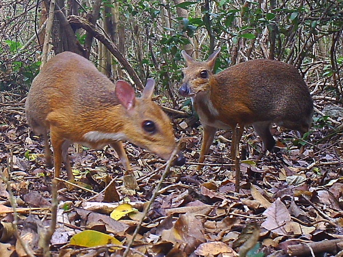 """Previously believed to be """"lost to science,"""" two silver-backed chevrotains were recently photographed in the forests of Vietnam for a study that was published Monday in the journal Nature Ecology & Evolution."""