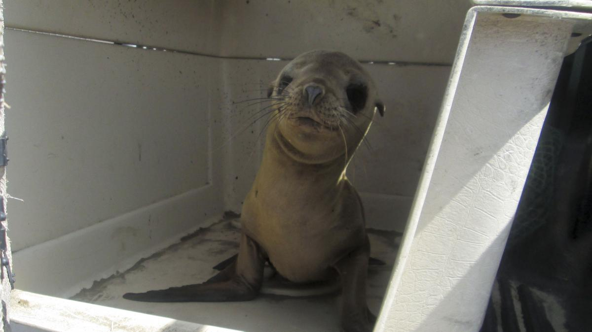 More and more starving sea lions are being found stranded on California shores, and animal rehabilitation centers are at their maximum capacity. Experts say there are fewer fish for these mammals to feed on, but they don't know why.