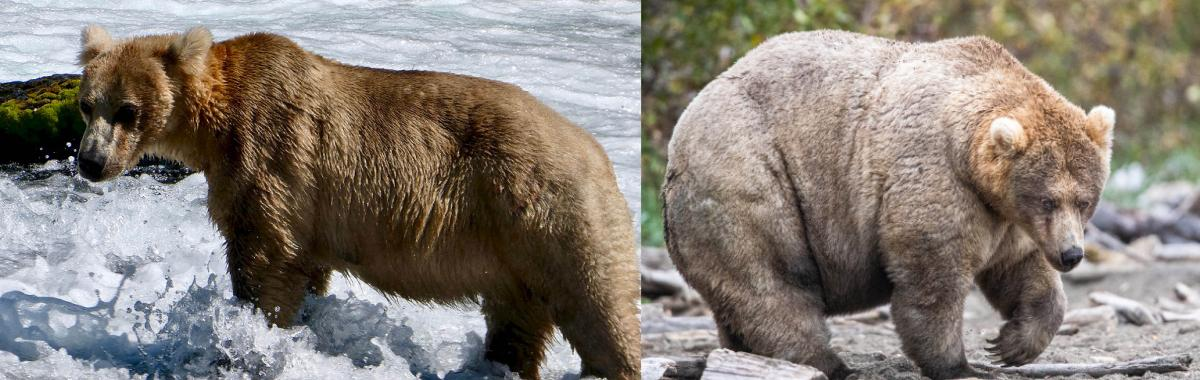 "Bear 435, aka ""Holly,"" before and after her prehibernation weigh-in. Holly went on to win the final round in Fat Bear Week 2019."