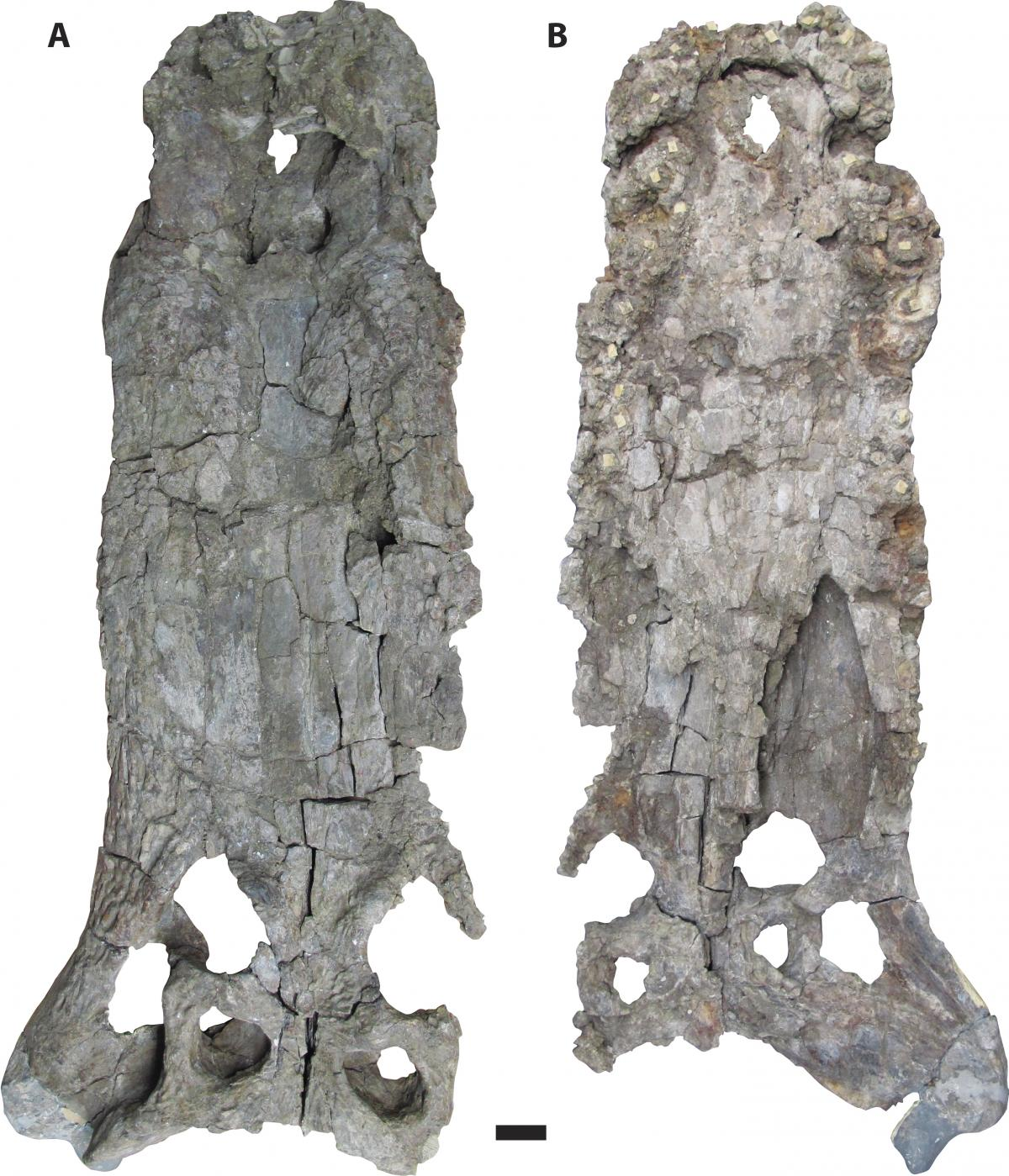 Deinosuchus were the largest semiaquatic predators in their environments and are known to have fed on large vertebrates, including dinosaurs. The photo shows a Deinosuchus skull in dorsal view (A) and a skull in ventral view (B).