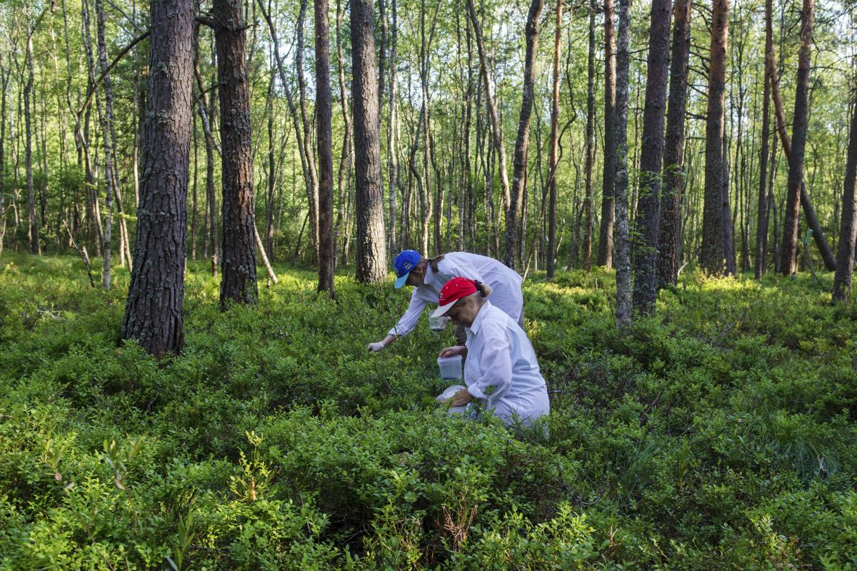 Tatyana and her daughter Svetlana pick blueberries. One part of dacha life is going into the woods to hunt for berries, despite the swarms of bloodthirsty flies.