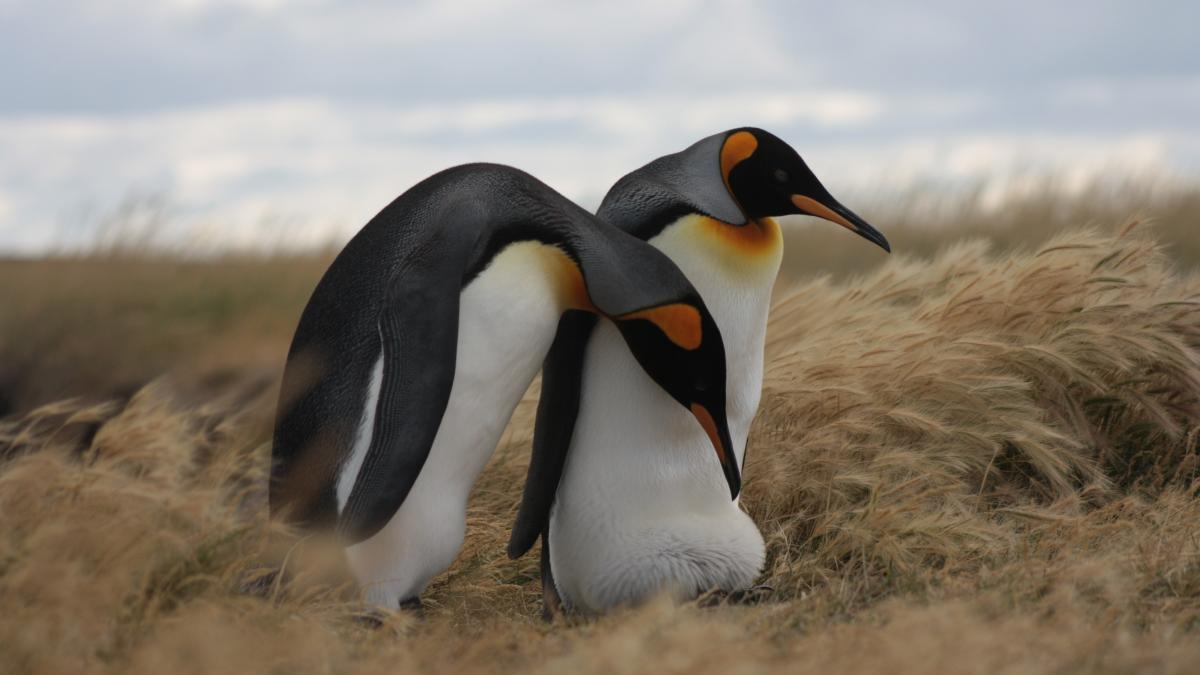 King penguins from the King penguin colony in Tierra del Fuego, Chile.