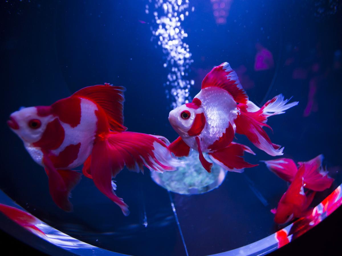 """Ryukin goldfish swim at the """"Art Aquarium 2016"""" exhibition in Tokyo."""