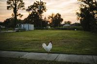 A chicken meanders on the sidewalk on Schnell Drive in Arabi, La.