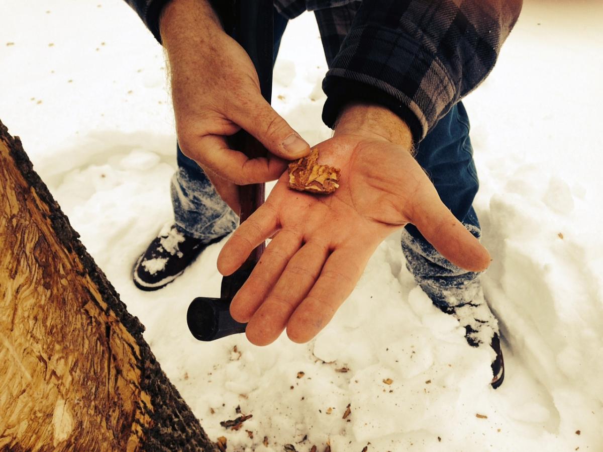 Tom Tiddens, supervisor of plant health care at the Chicago Botanic Garden, displays bark with beetle larvae.