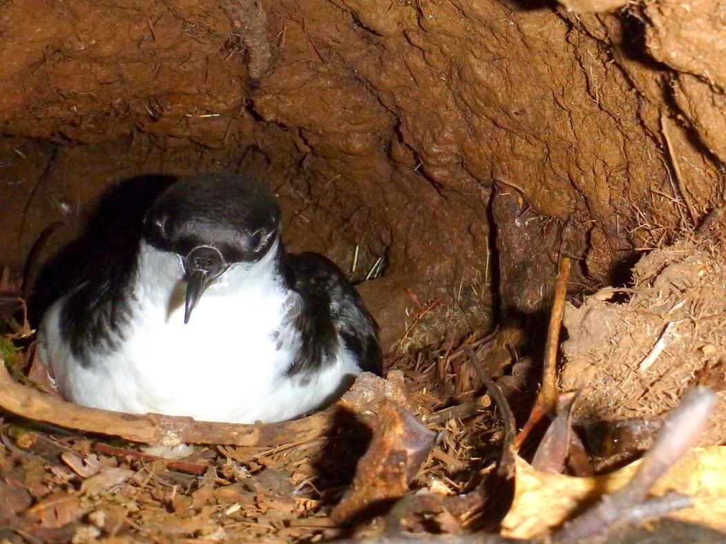 A Newell's shearwater nests in mountain burrows on the Hawaiian island of Kauai.