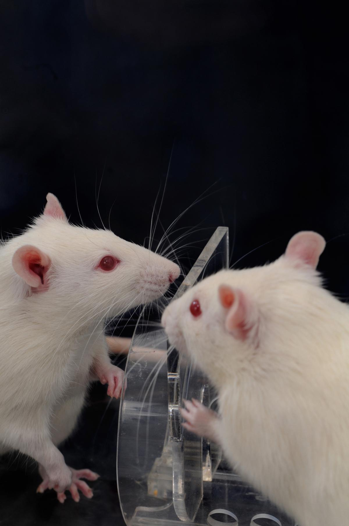 Researchers find that when one rat encounters another trapped in a restrainer, the free animal usually helps the trapped one by figuring out, as these two are doing, how to open the door to the trap. That helpful action happens faster and more consistentl