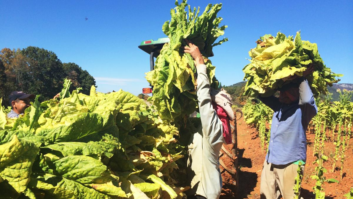 Workers on Stanley Smith's farm in King, N.C., hand-pick the leaves off the stalk of a tobacco plant.