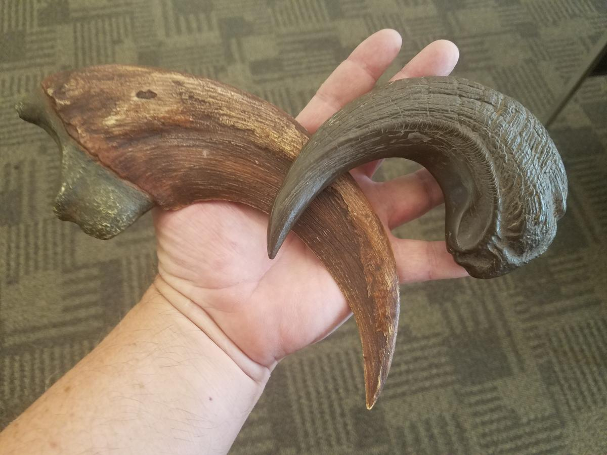 The Utahraptor claw, compared with a velociraptor claw.